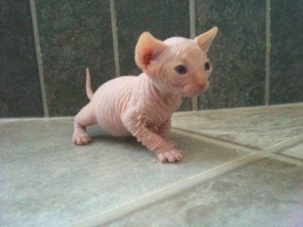 Amazing sphynx kittens Up For Sale.