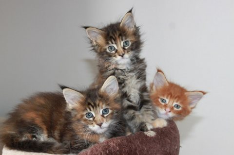 Super adorable AKC maine coon kittens For Sale.