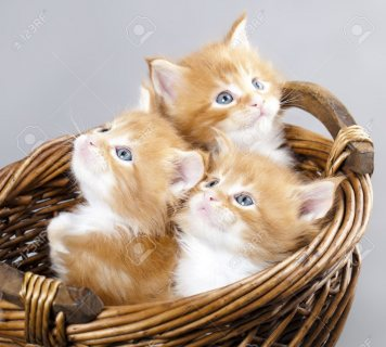 Fancy maine coon kittens Available For Sale.