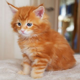 Amazing maine coon kittens Up For Sale.