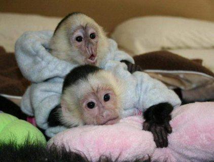 Lovely baby capuchin monkeys for Sale