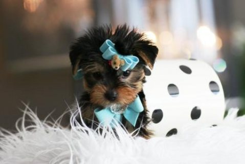 Teacup Yorkie for Adoption
