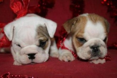 Male and Female English Bulldog Puppies For Sale,,...,Contact