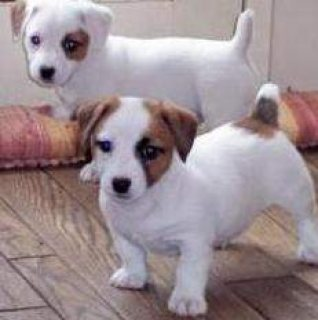 صور Beautiful Jack Russell Terrier puppies to go for sale 1