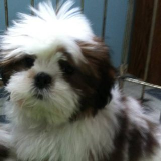 صور Adorable Shih Tzu puppies for sale 1