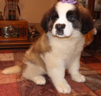 Adorable male and female Saint Bernard puppies for sale.
