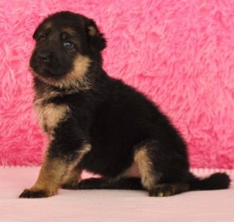 صور Male and Female German Shepherd Puppies for sale 1