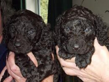 Irish water spaniel pups potty trained ready for sale.