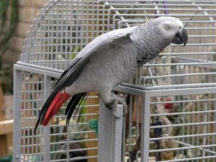 I have a male and female african grey parrots for adoption