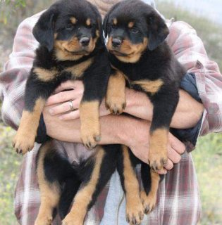 Marvelous Rottweiler Puppies