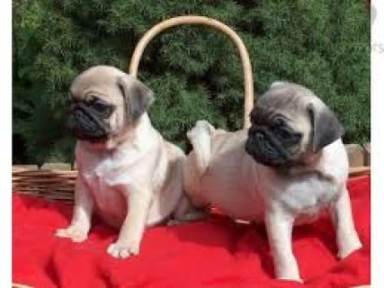 صور  Pug Puppies for Sale 1
