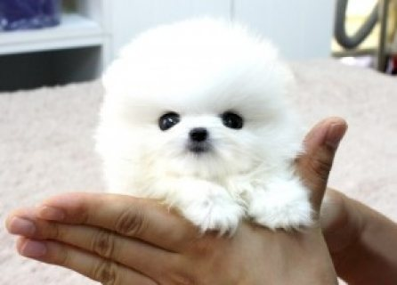 tiny pomerain puppies for sale