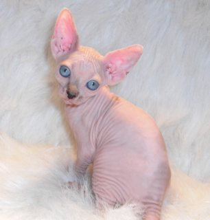 Hairless Sphynx Kittens