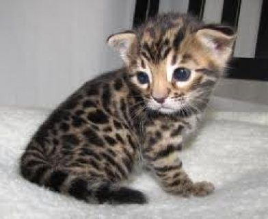 صور Healthy Bengal Kitten for Sale 1