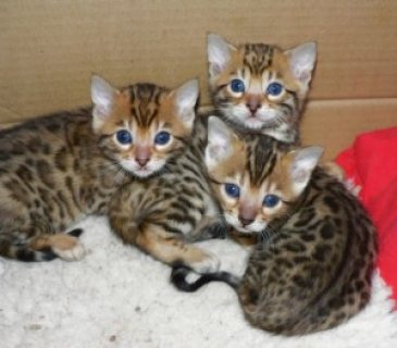 Cute bengal kittens