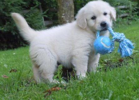 Retriever Pupps for Adoption