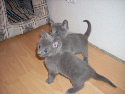 Gorgeous Russian Blue kittens for sale