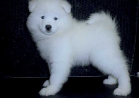 Wow!! all white Samoyed Puppies ready.