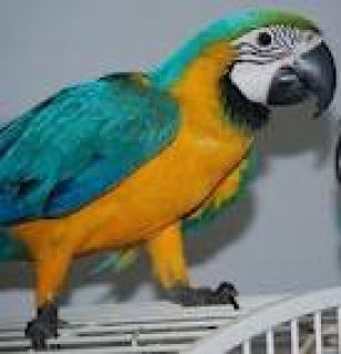 Gorgeous Macaw Parrots for free adoption