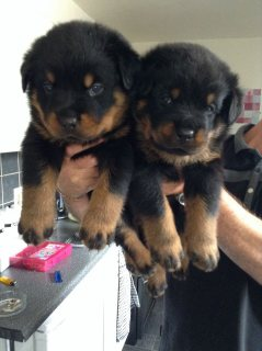 Male and female Rottweiler puppies for pet lovers.