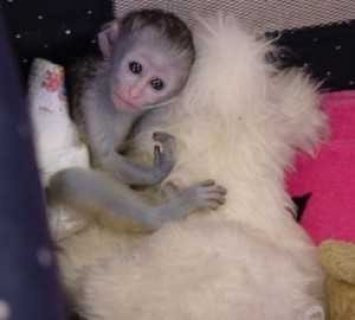 Marvelous Capuchin Monkeys for adoption