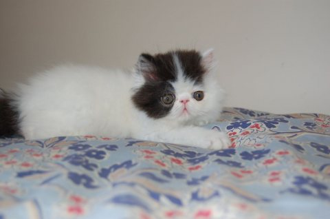 صور Exotic Shorthair Kittens Available for Adoption 1