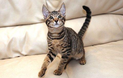 Servals Kittens, Savannah, Ocelot, Siamese  for Adoption