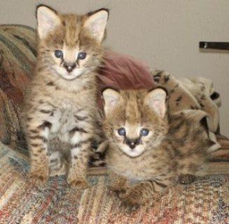 Serval Kitten for Adoption