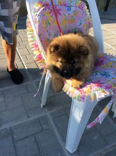 chow chow puppies  for Rehoming