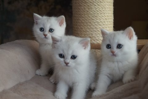 BEAUTIFUL BRITISH SHORT HAIR MALE AND FEMALE KITTENS!