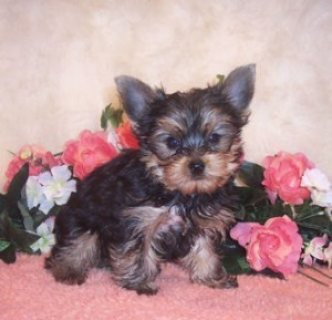 Cute Yorkie Puppies Available For Adoption