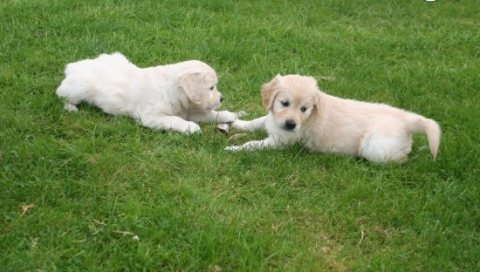 Beautiful Golden Retriever Puppies For Adoption