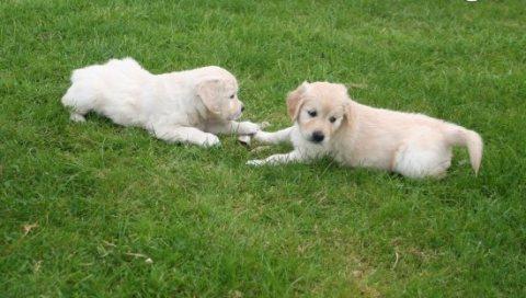 Beautiful Golden Retriever Puppies For Adoption
