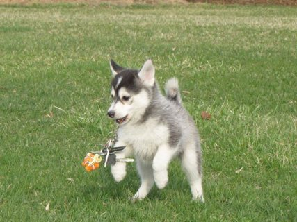 MALE AND FEMALE SIBERIAN HUSKY 12 WEEKS OLD