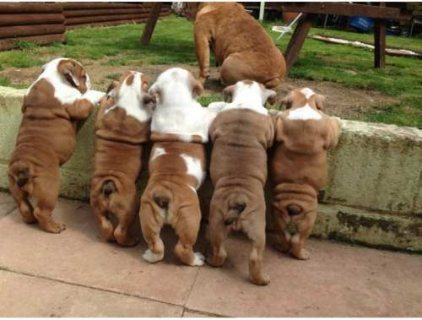 Adorable and well bred AKC registered English bull dogs for adop