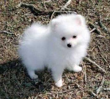 Purebred Pomeranian puppies for adoption.
