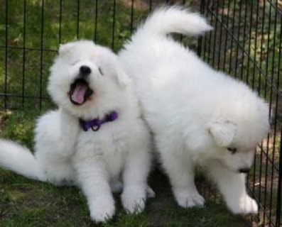 Adorable Samoyed Puppies for Adoption