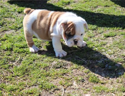 Gorgeous English Bulldog puppies available,,,