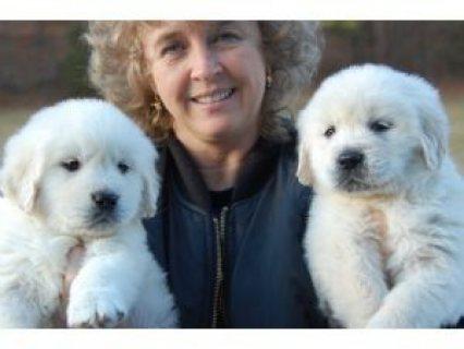 Two Adorable Retrievers for Adoption.....