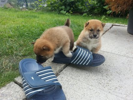 صور Healthy shiba Inu puppies for sale...,.,.,,,, 1