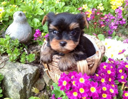 BEAUTIFULL TEACUP YORKIE PUPPIES FOR FREE ADOPTION.........