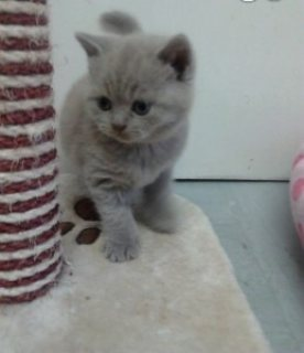 Exotic British Shorthair Kittens