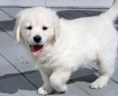 Golden Retriever Stud AKC For Sale.