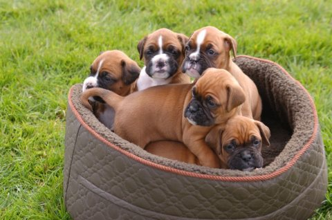 صور Super Adorable Boxer Puppies For Sale 1