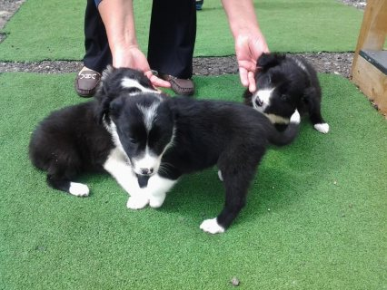 Border collie puppies available