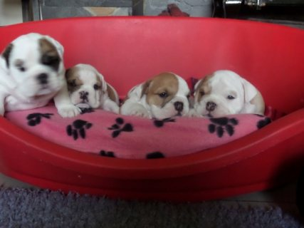 صور Cute AKC English Bulldog Puppies for Adoption 1