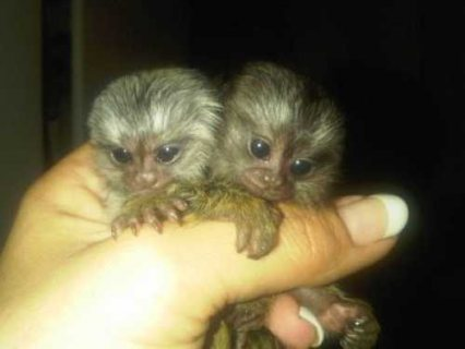 Twins Pygmy Marmosets Monkeys for sale