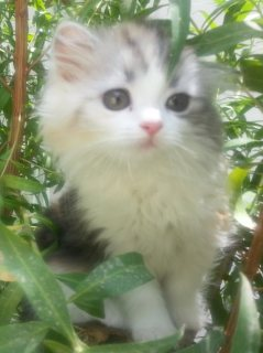 صور cats for sale قطط للبيع 1