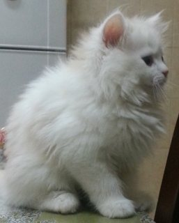 صور cats for sale قطط للبيع 4