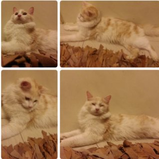 male cat for sale